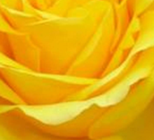 Beautiful Yellow Rose Flower on Black Background Sticker