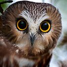 Northern Saw Whet Owl Portrait by Michael Cummings