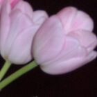 light pink tulip by clickthepic