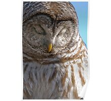 Barred Owl in Tree - Brighton, Ontario Poster