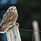 Short Eared Owl  by Michael Cummings