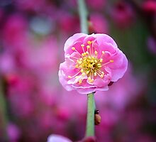 Weeping apricot by garyparkinson
