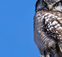 Northern Hawk Owl - Moose Creek, Ontario Sticker