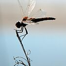 Dragonfly on Blue by Troy Spencer