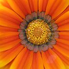 Blanket Flower by Dan Perez