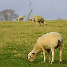 Our beloved sheep by Mike Butchart