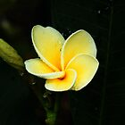Frangipani  by Ben Kelly