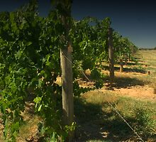 Looking along the vines by ndarby1