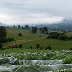 Summerview at Grape Picking Time - Millfield, Hunter Valley by anotherdonkeyd