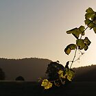 Vines at Sunset # 1 - Millfield, Hunter Valley by anotherdonkeyd