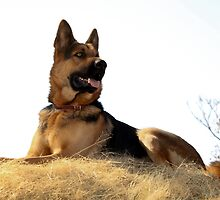 Most Beautiful German Shepherd, Kaptein (Captain)... by Qnita