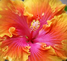 Hibiscus by Anne Smyth