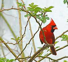Northern Cardinal in Rose Bush by Bonnie T.  Barry
