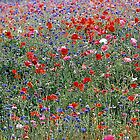 Poppies & Wild French Flowers by photobymdavey