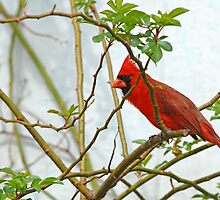 Peek-A-Boo Redbird by Bonnie T.  Barry