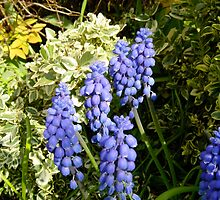 Edna's garden/ grape hyacinths by dougie1