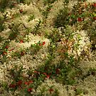 Reindeer Lichen with Red Berries by Jo Nijenhuis