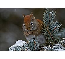 Red Squirrel in Spruce tree - Ottawa, Ontario Photographic Print