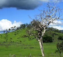 Ghost Gum in the Mary Valley by myraj