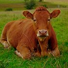 cow by Angus Beare
