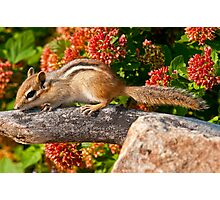 Eastern Chipmunk Photographic Print