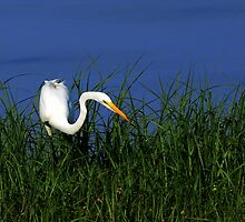 egret in grass by Troy Spencer