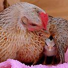 Ahhh.. My Little Sleeping Beauty - Silver-Duckwing - NZ by AndreaEL