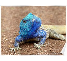 I'm Having A Blue Blue Day... Blue-Head Agama Lizard - Kurger Park SA Poster