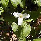 Spring Trillium by Brad