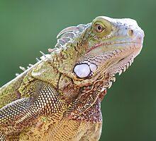 Iguana Portrait by Larissa Brea
