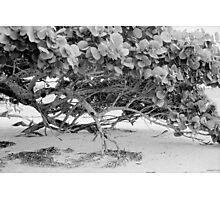 Seagrape Photographic Print