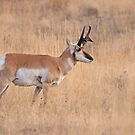 ANTALOPE BUCK by Rodney55