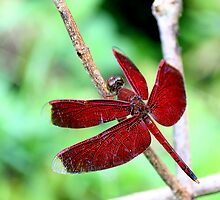 Grasshawk Dragonfly by Neil Bygrave (NATURELENS)