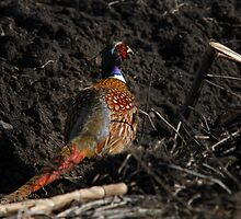 Rooster Pheasant - Hunkered Down by Ryan Houston
