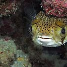 Happy Lil Puffer #2 by Michael Powell