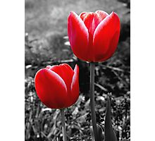 Red Tulips Photographic Print
