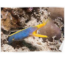 Blue Ribbon Eel, North Sulawesi, Indonesia Poster