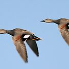 Gadwall Males by Ryan Houston