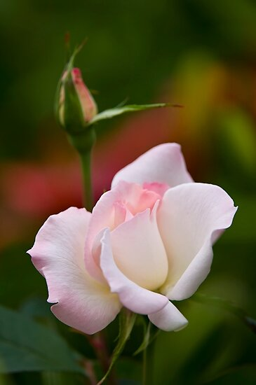 Light Pink Rose - Ottawa, Ontario by Michael Cummings