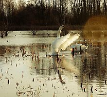 Swans in a Swamp 2 by jennia