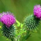 Thistles by Garrington