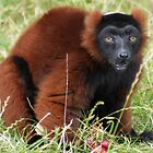 Brown Lemur by Mark Andrew Turner