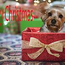 Merry Christmas  Yorkie in a box by Rick  Friedle