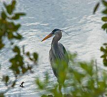 Great Blue Heron by Duane Fulk