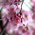 Cherry blossoms by TriciaDanby