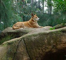 king dingo by Rick Playle