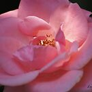 My Pink Rose by Lorelle Gromus