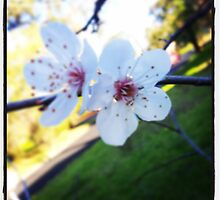 Delicate Plum Blossoms  by Clintonis