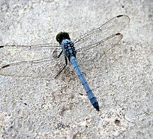 Blue Dragonfly    by Wanda  Mascari