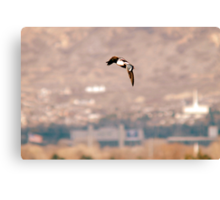 Northern Shoveler - Flight Canvas Print